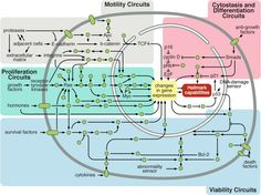 Intracellular Signaling Networks Regulate the Operations of the Cancer CellAn . Growth Factor, Information Design, Word Out, Differentiation, Biology, Cancer, Infographics, Infographic, Info Graphics