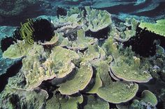 Montipora confusa coral by Roger Steene