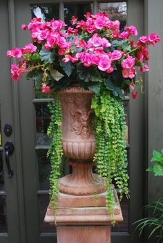 Begonia and creeping jenny. Creeping Jenny for hair on head? Container Flowers, Container Plants, Container Gardening, Shade Perennials, Shade Plants, Potted Plants, Planters Shade, Urn Planters, Shade Flowers