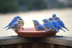 bluebirds, my MOST favorite!!