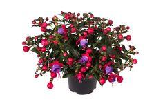 #Bella #Fuchsia #Susanna #garden #plant #flowers Clever Design, Mosaic, Rose, Garden, Flowers, Plants, Inspiration, Biblical Inspiration, Pink