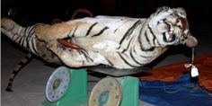 Tigers slaughtered to produce tiger bone paste to fuel the illegal tiger trade in Vietnam! Please he