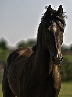 Horse /   Akhal-Teke  imported from Russia by Bold Vantage Farm