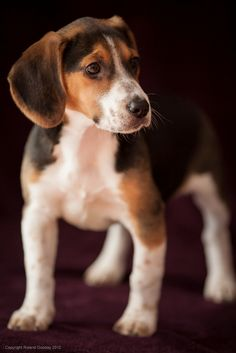 beautiful beagle puppy