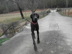 Gracie is an adoptable Great Dane Dog in Taylorsville, NC. Gracie is a one year old black female who gets along with all other dogs. She loves to run and play with the other dogs at the rescue kennel....