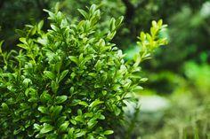 Buchsbaum – Pflanzen, düngen und schneiden