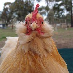 Keeping bantam chickens #Bantams, #ChickenBreeds, #Chickens #AnimalsandLivestock