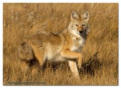 Coyote will actually bark to attract domestic dogs...to dinner.