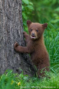 "Mom, can I come out of time-out now?   ""Black bear spring cub (cinnamon color phase)"" by Charles Glatzer, via 500px."