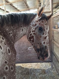 "Larri Branigan Kuhns Here is my leopard appaloosa with his own ""peacock"" or giraffe spots!❤️❤️❤️ Tattoo or ""Shining Royse"""