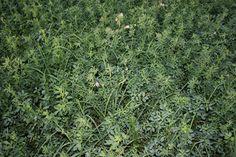 NATIVE AMERICAN LEGENDS Herbs, Plants, and Healing Properties