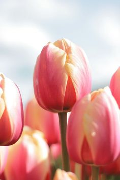 Tulip Marit is soft pink with a yellow touch. The flowers of tulip Marit can get very big in your garden. Plant your flowerbulbs now, checkout our range on our webshop, directly from the grower! Pink Tulips, Tulips Flowers, Pansies, Daffodils, Spring Flowers, Tulip Flower Pictures, Tulip Wedding, Tulip Bulbs, Greenhouse Gardening