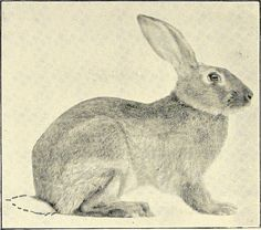 """Image from page 57 of """"The first Belgian hare course of instruction. Twenty lessons. Complete directions for buying, sheltering, feeding, breeding ... developing a business, etc. ... with a true history of the Belgian hare .."""" (1901) 