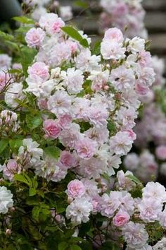 ~Rosa 'Paul's Himalayan Musk' - one of my favourite multi-flora ramblers for growing into trees. It can reach 9m in height by 3.5m in spread. It bears clusters of pale pink flowers in Summer. It has one large flush and then it's over.