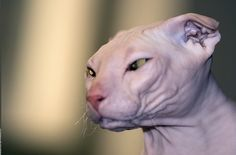 same --> Ukrainian Levkoys have a very unique appearance. They resemble Sphynx cats but have ears somewhat like those of Scottish Folds. Head is long and flat on top with an angular and stepped face that is almost dog-like. Eyes are big, almond shaped and occur in a variety of bright colors. Distinguishing feature of these elegant cats is their ears that are folded frontally downward. In fact Ukrainian Levkoys derive their name from the Levkoy plant, that has bent leaves, owing to their…