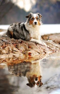 Australian Shepherd: to a farm belongs a dog. And I would like to live on a farm with animals so… Australian Shepherd: to a far Shares Australian Shepherds, Aussie Shepherd, Australian Shepherd Puppies, Aussie Puppies, Cute Dogs And Puppies, Doggies, Blue Merle Australian Shepherd, Beautiful Dogs, Animals Beautiful