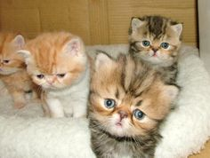 Exotic Shorthair Cats and Kittens for sale at ZIAKATZ