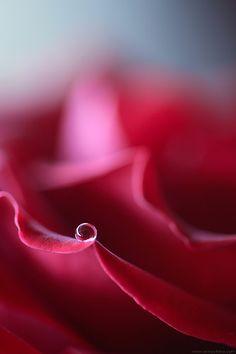 Waterdrop on a pink rose #bokeh