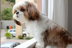 Shih tzu waiting...