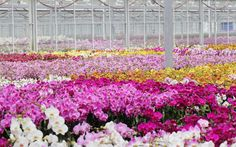 Beautiful orchid color varieties growing in the greenhouse!