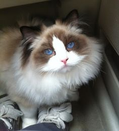 """""""Any conditioned cat hater can be won over by a cat who chooses to make the effort."""" --Paul Corey"""