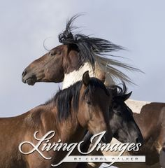 Warbonnet, a wild horse in McCullough Peaks, WY with two mares www.LivingImagesCJW.com