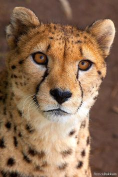 Cheetah … - Cats and Dogs House Beautiful Cats, Animals Beautiful, Cute Animals, Hey Gorgeous, Baby Animals, Big Cats, Cats And Kittens, Siamese Cats, Regard Animal