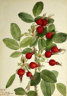 Mary Vaux Walcott  Bourgeau Rose  1923    *Rosehips does a body good  higher source of Vitamin C than any commonly shelved fruit juice =) Vintage Botanical Prints, Botanical Drawings, Botanical Art, Vintage Prints, Botanical Gardens, Merian, Illustration Art, Illustrations, All Nature