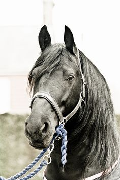 """There is something about the outside of a horse that is good for the inside of a man"" ~ Winston Churchill (Friesian breed) Most Beautiful Animals, Beautiful Horses, Beautiful Creatures, Black Horses, Wild Horses, Gray Horse, Horse Pictures, Animal Pictures, Friesian Horse"