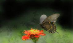Black Swallowtail Illuminates by Olahs Photography