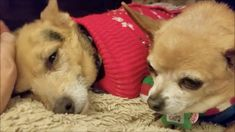 12/16/17 - ADOPT US !!! - Mr Smee and Miss Chips, a bonded pair at Muttville
