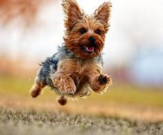 yorkshire terrier<3