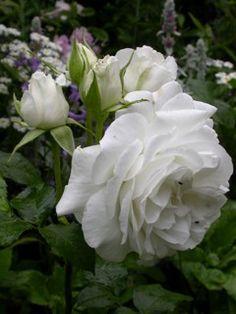 Rosa 'Annapurna' (France, 2000)