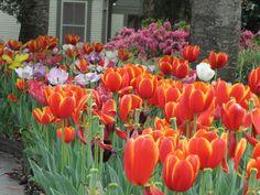 Orange Tulips, Orange, Texas