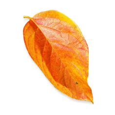 The West's best trees for fall leaves | Japanese persimmon (Diospyros kaki)