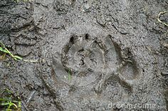 Brown Bear Track - Download From Over 26 Million High Quality Stock Photos, Images, Vectors. Sign up for FREE today. Image: 34410211