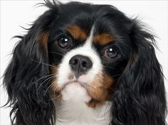 Chester, Cavalier King Charles Spaniel, 9 months