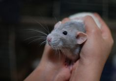 Pink Eyes Freak You Out? Rat Care, Albino, Pink Eyes, Animals, Animales, Animaux, Animal, Animais, Red Eyes
