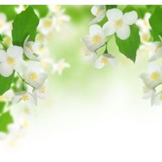 Jasmín 10ml Blossom Flower, Jasmine, Spring, Picture Backdrops, Plants, Flowers, Fotografia