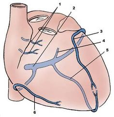 5 major coronary arteries arteries of heart diagram make heart heart vascular anatomy coloring google search ccuart Choice Image