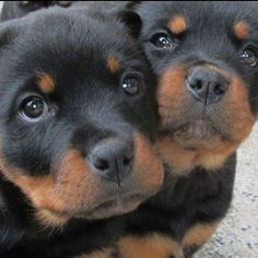 Rottweiler Funny Discover The Loyal Rottweiler Dog Exercise Needs Cute Puppies, Cute Dogs, Dogs And Puppies, Chihuahua Dogs, Doggies, Toy Dogs, Baby Animals, Cute Animals, Rottweiler Puppies