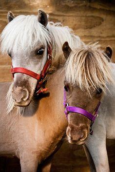 miniature ponies~