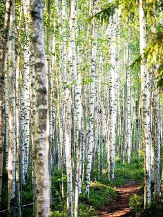 ***Path in the birch grove (Finland) by Miemo Penttinen nw.cr.