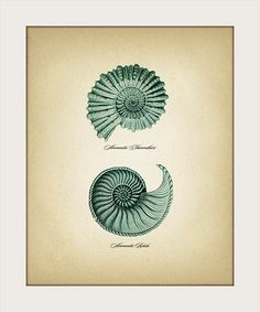 Spiral Seashells ( Ammonites )- - Fine art print of a vintage natural history antique illustration, Seashell Tattoos, Seashell Art, Antique Illustration, Illustration Art, Spiral Tattoos, Tea Stained Paper, Botanical Tattoo, Botanical Drawings, Fire Tattoo