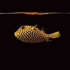 """Map puffer. Image courtesy of """"Sea"""" by Mark Laita (Abrams)."""