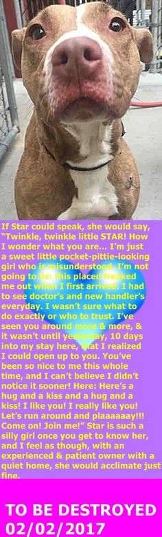 MURDERED 2-2-2017 --- Manhattan Center My name is STAR. My Animal ID # is A1101826. I am a female tan and white pit bull mix. The shelter thinks I am about 1 YEAR 5 MONTHS old. I came in the shelter as a STRAY on 01/19/2017 from NY 10037, owner surrender reason stated was STRAY. http://nycdogs.urgentpodr.org/star-a1101826/