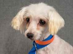 Adopt Crystal, a lovely 7 years Dog available for adoption at Petango.com.  Crystal is a Maltese and is available at the National Mill Dog Rescue in Colorado Springs, Co.  www.milldogrescue.org #adoptdontshop  #puppymilldog   #rescue  #adoptyourfriendtoday