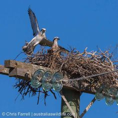 are regularly seen along coasts and rivers in The build huge nests, often on man-made structures like bridges and power poles Nests, Rivers, Bridges, Wildlife, Coast, Owl, Australia, Bird, Animals