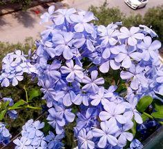 Πλουμπαγκο Blue Flowers, Garden, Plants, Olympia, A3, Decoration, Decor, Garten, Lawn And Garden