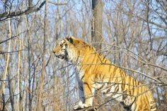 Sundarban Tigers Closely Related to Tigers from Central India